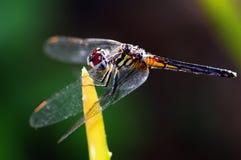 Libelle-Nahaufnahme Stockbild