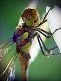Libelle (Odonata) Lizenzfreie Stockfotografie