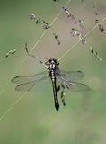 Libelle (Odonata) lizenzfreies stockbild