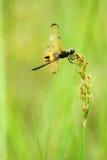 Libelle (rhyothemis phyllis) Lizenzfreie Stockfotos