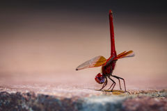 Libelle rosso Fotografia Stock Libera da Diritti