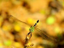 Libelle lizenzfreie stockbilder