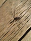 Libelle setzte sich hin, um stillzustehen lizenzfreie stockbilder