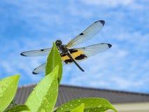 Libelle sitzen auf Blatt Stockfotos