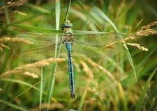 Libelle sitzt auf dem Gras Lizenzfreies Stockfoto