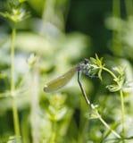 Libelle sitzt auf einem Stiel Lizenzfreies Stockbild