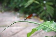 Libelle slända arkivbild