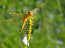 Libelle in Thailand Stockfotografie