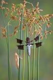 Libelle- und Hallehaut Stockfotografie