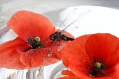 Libelle und Mohnblume Lizenzfreie Stockbilder