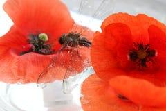 Libelle und Mohnblume Stockfoto