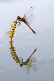 Libelle und Reflexion Stockbild