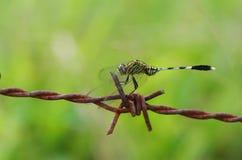 Libelle und Stacheldraht Stockfoto