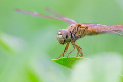 Libelle und weiße Blume mit grünem Hintergrund Stockfotos