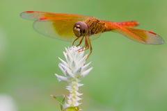 Libelle und weiße Blume mit grünem Hintergrund Lizenzfreies Stockfoto