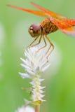 Libelle und weiße Blume mit grünem Hintergrund Stockbilder