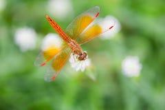 Libelle und weiße Blume mit grünem Hintergrund Stockfotografie