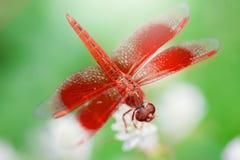 Libelle und weiße Blume mit grünem Hintergrund Lizenzfreies Stockbild