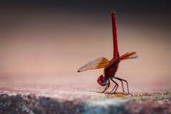 Libelle vermelho Foto de Stock Royalty Free