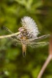 Libelle von der Spitze Stockfotografie