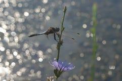 Libelle während der Sommerzeit Lizenzfreie Stockbilder