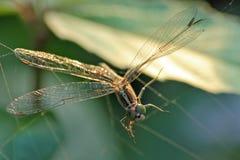 Libelle wird durch Spinnennetz eingeschlossen stockfotos