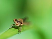 Libellegesicht lizenzfreies stockbild