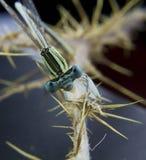 Libellekopf auf einem Steuerknüppel Stockfotografie