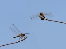 Libellen Royalty-vrije Stock Afbeelding