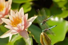 Libellen Stockbild
