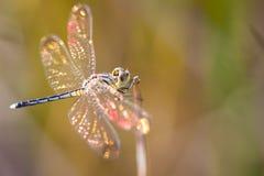 libellen Stockbilder