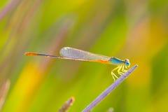 libellen Stockfotografie