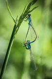 Libellen-Anschluss Stockbilder