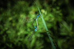 Libellen-Anschluss Lizenzfreie Stockfotografie