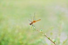 Libellen die aan treetop vliegen Royalty-vrije Stock Afbeelding