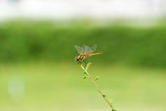Libellen die aan treetop vliegen Stock Foto