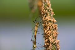 Libellen, die in dem Teich verbinden Stockfoto