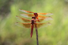 Libellen die elkaar bekijken Royalty-vrije Stock Fotografie