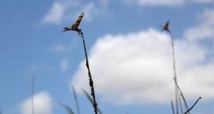 Libellen die op cattailinstallaties dicht zitten omhoog Stock Foto
