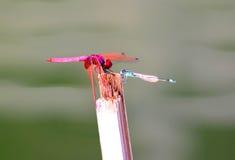 Libellen die op een grote vijver samenkomen Stock Foto's