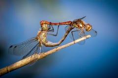 Libellen in liefde Stock Foto's