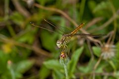 Libellen-Makro Stockbild