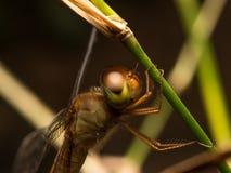 Libellen-Makro Stockbilder