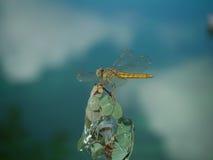 Libellen-Nahaufnahme Stockbilder