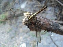 Libellen op houten worden neergestreken die royalty-vrije stock foto