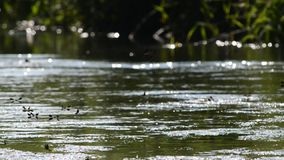Libellen in rivieroeverbos bij de rivier van Donau stock videobeelden