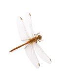 Libellen-südliches Abstreicheisen lokalisiert auf Weiß Stockfoto