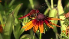 Libellen sind sehr alte Insekten Gleiten von Blume zu Blume stock video