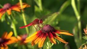 Libellen sind sehr alte Insekten Gleiten von Blume zu Blume stock footage