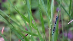 Libellen sind sehr alte Insekten Helle Farben einer Libelle stock video
